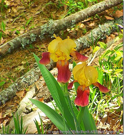 Lovelady Iris