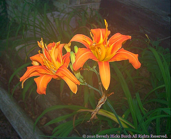 I planted more azaleas, Stargazer Lilies, Ginger Lilies, Burning Bushes,